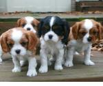 Cavalier King Charles-puppy's.